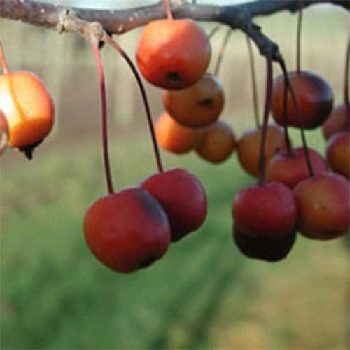 Professor Sprenger - polinizador de los manzanos