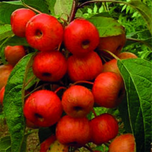 Everest – Ornamental apple trees for pollination