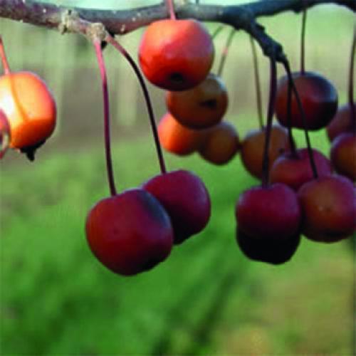 Professor Sprenger - Ornamental apple trees for pollination