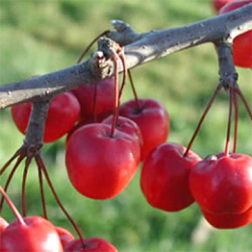Red Sentinel - Zieräpfel