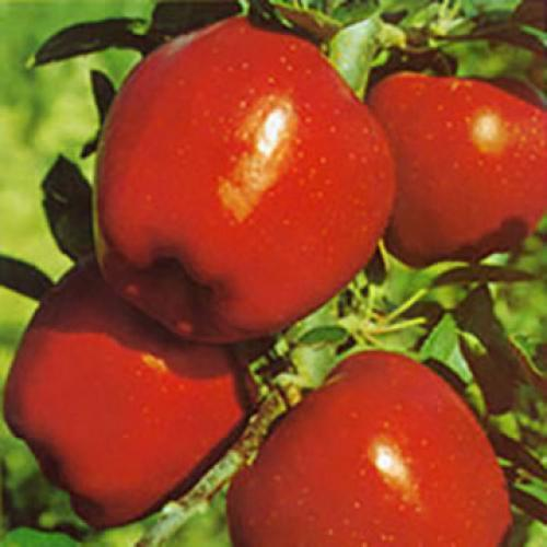 Red Delicious -Red Chief